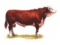 Рынок крупного рогатого скота