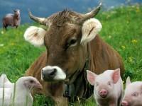Рынок животноводства